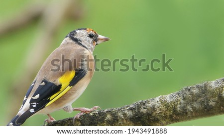 Goldfinch Juvenile on a branch in a wood Royalty-Free Stock Photo #1943491888