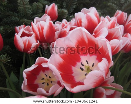 macro photo with a decorative background of colorful petals in red and white shades of flowers of a bulbous plant of tulips for design and landscaping as a source for prints, posters,