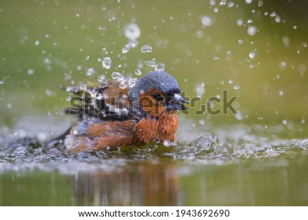 Close up of finch Fringilla coelebs washing and actively moving wings and water drops around and with waves on the water and diffused reflection of the colourful song bird in with background Royalty-Free Stock Photo #1943692690