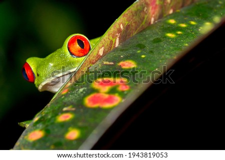 Red-eyed Tree Frog  Agalychnis callidryas at Tropical Rainforest at Corcovado National Park in Osa Conservation Area  Osa Peninsula  Costa Rica  Central America America Royalty-Free Stock Photo #1943819053