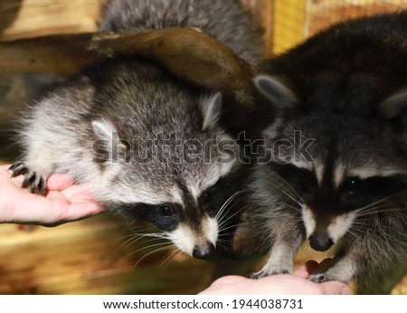 two raccoons climb out of a tree. Animal raccoon.