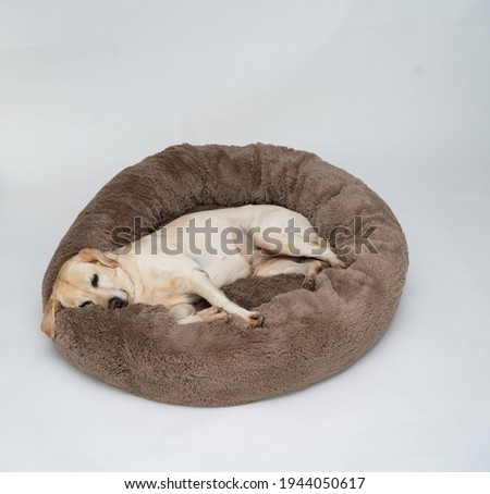 A cute yellow Labrador is lying on the dog bed. Light background. The dog sleeps on the Plush Fleecy Pet Cave Royalty-Free Stock Photo #1944050617