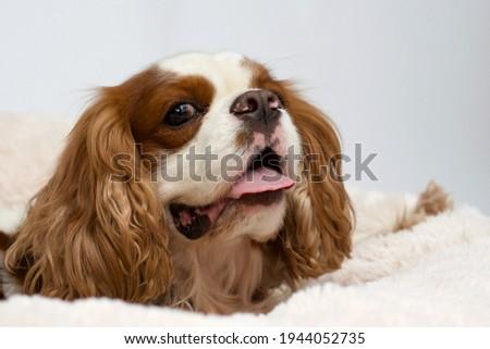 Cute cocker spaniel lying on a dog bed. Light background. Dog Sleeps on Plush Fluffy Pet Cave Royalty-Free Stock Photo #1944052735