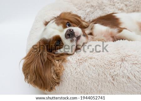 Cute cocker spaniel lying on a dog bed. Light background. Dog Sleeps on Plush Fluffy Pet Cave Royalty-Free Stock Photo #1944052741