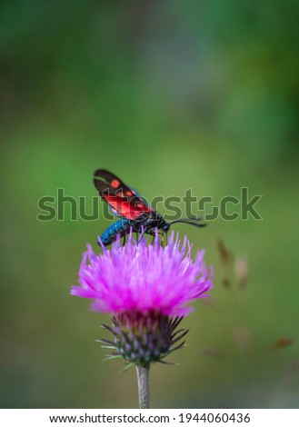 Zygaaena sp Insect (Arthropod) on mountain wild flowers in Néouvielle Nature Reserve in Vallée d'Aure valley of L'Occitanie region of Hautes-Pyrénées in France, Europe Royalty-Free Stock Photo #1944060436