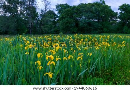 Yellow flag or yellow iris (Iris xiphioides) wild flowers in springtime in Cantabria Autonomous Community of Spain, Europe
