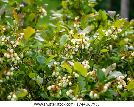 Northern highbush blueberry, high blueberry, Vaccinium corymbosum, North American berry shrub blooming, closeup with selective focus and copy space Royalty-Free Stock Photo #1944069937