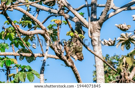 Cute sloth on the tree - Costa rica