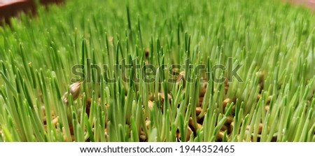 Day 4 hydroponic fodder barley seed grown without soil Royalty-Free Stock Photo #1944352465