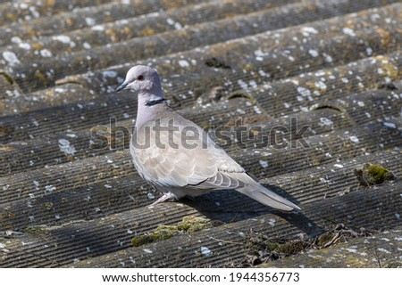 Collared dove on mottled background. Scientific name - Streptopelia decaocto. Cute picture, suitable for decorating items, such as plastic bags.