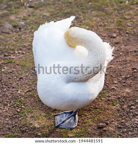 Funny white swan hiding head