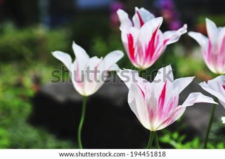 Image of Tulip #194451818