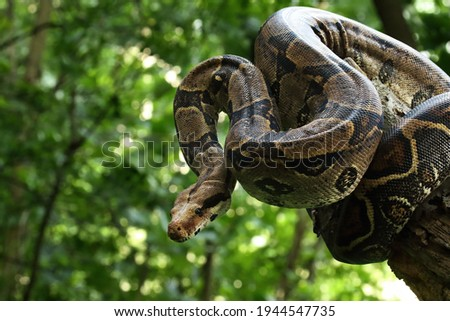 The boa constrictor (Boa constrictor), also called the red-tailed boa or the common boa, on the old branche in green forest. Green background. Royalty-Free Stock Photo #1944547735