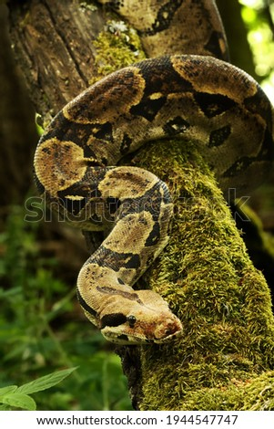 The boa constrictor (Boa constrictor), also called the red-tailed boa or the common boa, on the old branche in green forest. Green background. Royalty-Free Stock Photo #1944547747