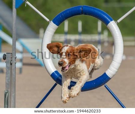 A Welsh Springer Spaniel dog jumping through agility ring in agility competition Royalty-Free Stock Photo #1944620233