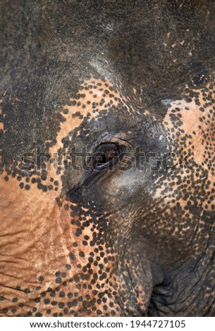 Close up picture of an elephant in an elephant rescue center in Phuket, Thailand.