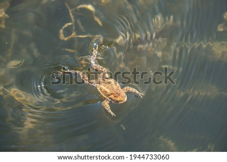 frog swimming in a pond at springtime