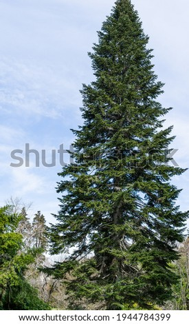 Big dark green coniferous tree fir Abies nordmanniana  (Caucasian Fir) or Christmas tree in Arboretum Park Southern Cultures in Sirius (Adler). Royalty-Free Stock Photo #1944784399