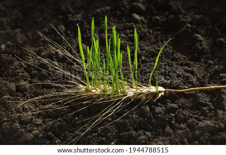 New wheat generation growing out of old ear on fertile soil, re-creation concept Royalty-Free Stock Photo #1944788515