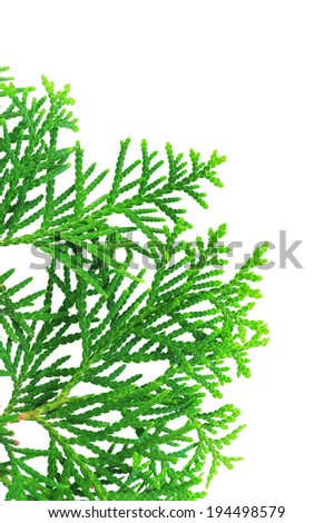 Young branch of a thuja isolated on a white background #194498579