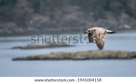 A juvenile seagull in flight on the Swedish west coast. Royalty-Free Stock Photo #1945004158