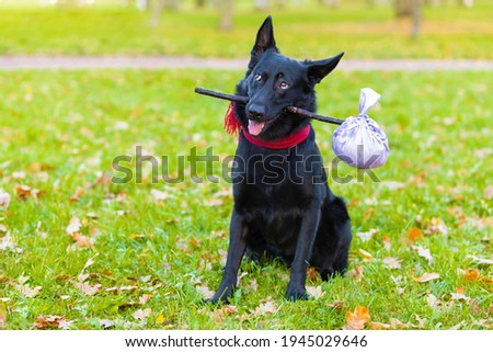 Black German shepherd dog traveler abandoned, left alone on road, street, park with stick in teeth, in mouth, with luggage bag or suitcase, plaintive look, begging to come home to owner. pet adoption Royalty-Free Stock Photo #1945029646