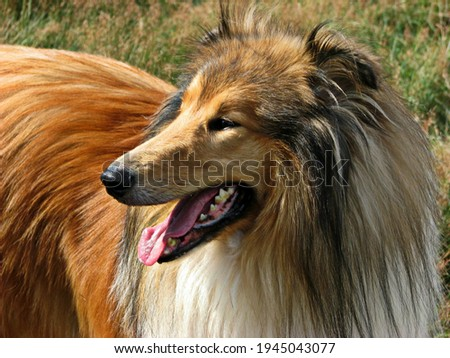A picture of the dog Collie, it is a very beautiful type of dog