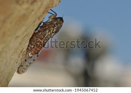 This insect is a singing cicada.These arthropods lives in trees.Cicada nymphs drink sap from the xylem of various species of trees.The male cicadas are singing.The male abdomenacts as a sound box. Royalty-Free Stock Photo #1945067452