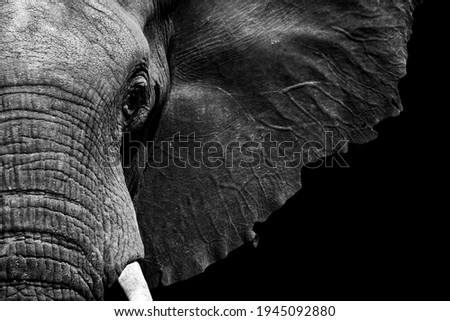 African elephant close-up in textured black and white processed Royalty-Free Stock Photo #1945092880
