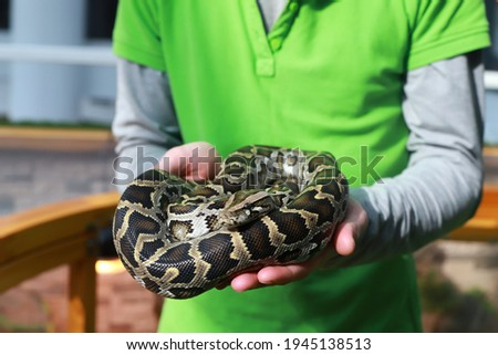 tiger python in human hands. Snake. Background photo for zoo