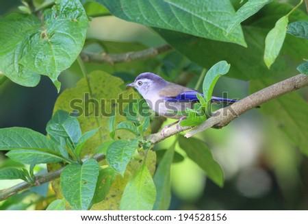 Blue-winged Minla (Minla cyanouroptera) in North Thailand #194528156