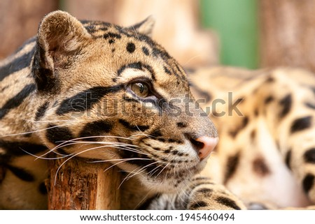 Close-up of an Ocelot - Leopardus pardalis - on a branch. The wild cat staring away from the camera. High quality photo