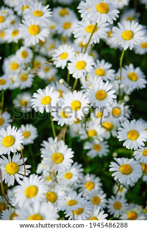 Floral summer background of field camomile flowers. Chamomile flowers field in sun light. Summer Daisies. Wild flowers field. Vertical