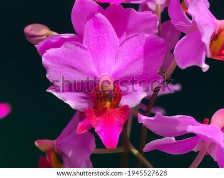 Close up picture of purple moth orchid Doritis pulcherima
