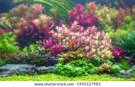 Colorful aquatic plants in aquarium tank with Nature and Dutch style aquascaping layout Royalty-Free Stock Photo #1945527985