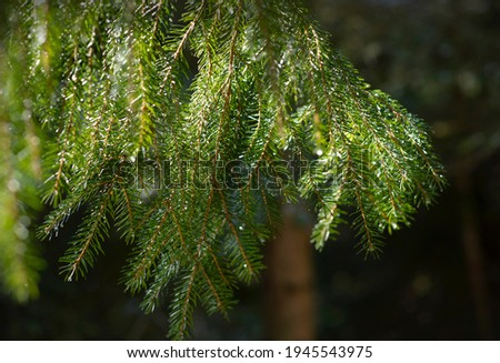 Photo of fir branch on a sunny spring day. Fresh fir branches in sunlight covered with dew in a early spring
