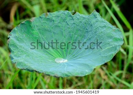 Picture of a lotus leaf, lotus that grows in the water and lives in the garden, which is the flower of Thailand.
