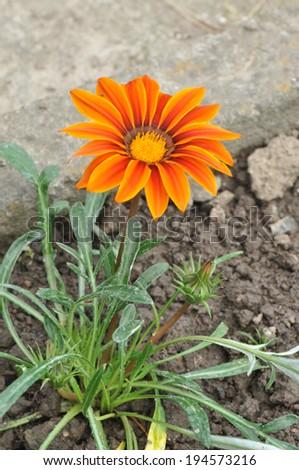 Gazania rigens or Gazania splendens in the flowerbed. #194573216