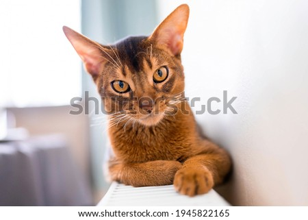 Close up portrait view of the cute Abyssinian purebred cat photo. Fluffy elegant cat. Royalty-Free Stock Photo #1945822165