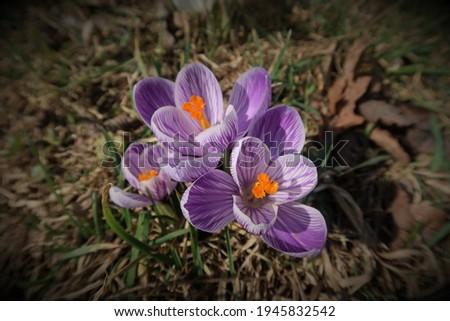 Crocus vernus (spring crocus, giant crocus). Blooming violet flowers on the spring meadow. Group of purple crocus flowering in early spring. Top view, vignetting style