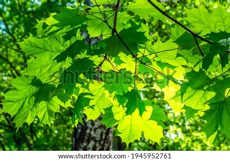 Summer green maple leaves sunlight. Green maple leaves. Maple leaves green foliage Royalty-Free Stock Photo #1945952761