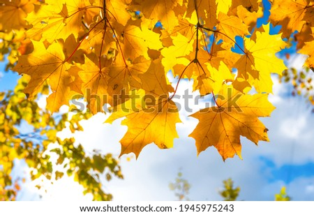 Golden autumn maple leaves view. Maple leaves in autumn. Autumn maple leaves closeup Royalty-Free Stock Photo #1945975243