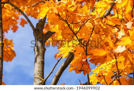 Golden autumn maple leaves view. Maple leaves in autumn. Autumn maple leafs Royalty-Free Stock Photo #1946099902
