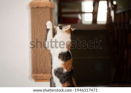 Cat sharpens its claws on scratching post. Colorful red-white-black cat stands on its hind legs and sharpens its claws on a brown wall scratching post side view Royalty-Free Stock Photo #1946317471