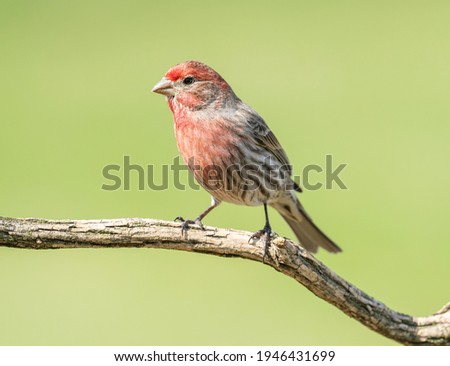 House finch perched on a log. Royalty-Free Stock Photo #1946431699