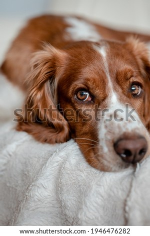 Laying happy dog on a sofa couch at home. Purebred welsh springer spaniel healthy dog. Royalty-Free Stock Photo #1946476282