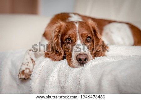 Laying happy dog on a sofa couch at home. Purebred welsh springer spaniel healthy dog. Royalty-Free Stock Photo #1946476480