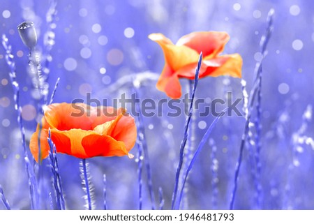 Two poppies in field. Beautiful screensaver of nature. Red flowers on blue background