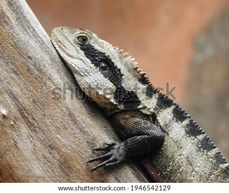 Australian water dragon resting on a branch