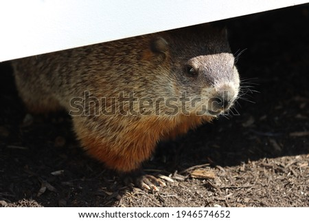 A groundhog peeking out from under a deck Royalty-Free Stock Photo #1946574652